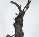 The Bronze Oak Tree